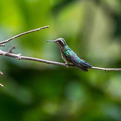 """""""Besourinho-de-bico-vermelho (Chlorostilbon lucidus) fêmea, fotografado em Domingos Martins, Espírito Santo -  Sudeste do Brasil. Bioma Mata Atlântica. Registro feito em 2013.<br /> <br /> <br /> ENGLISH: Female Glittering-bellied Emerald photographed  in Domingos Martins, Espírito Santo - Southeast of Brazil. Atlantic Forest Biome. Picture made in 2013."""""""
