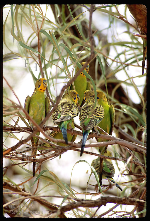 Budgerigar birds perch toward and away from camera revealing breast and tail feathers; Tanami Australia