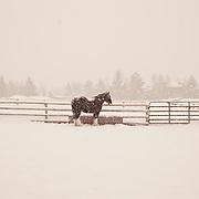 sleigh horse, sun valley, idaho, 2011 western horse datebook december,