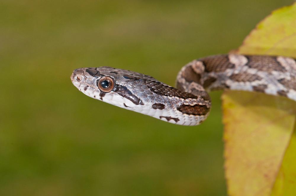 Texas rat snake, Elaphe obsoleta lindheimeri, native to Texas, Louisiana, Arkansas and Oklahoma