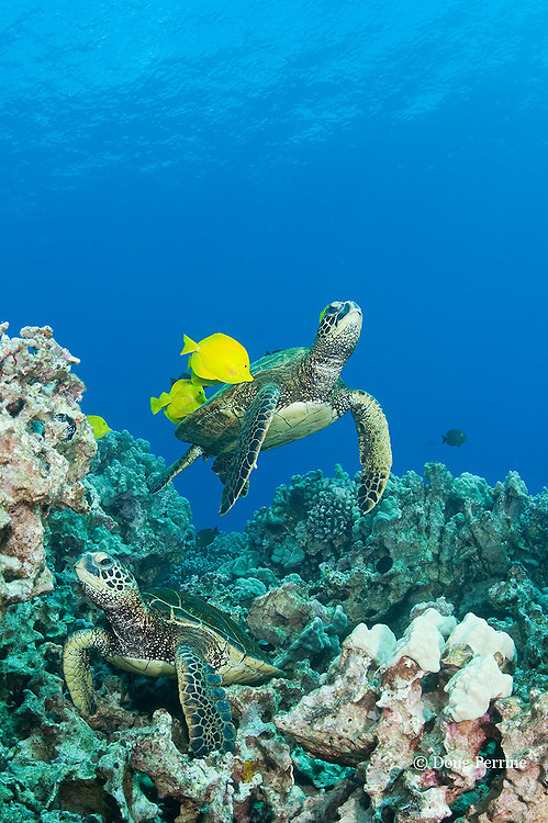 green sea turtles, Chelonia mydas ( Threatened Species in Hawaii; Endangered elsewhere), being cleaned of algae by yellow tangs, Zebrasoma flavescens ( herbivorous surgeonfish ), Puako, Kona, Hawaii, U.S.A. ( Central Pacific Ocean )