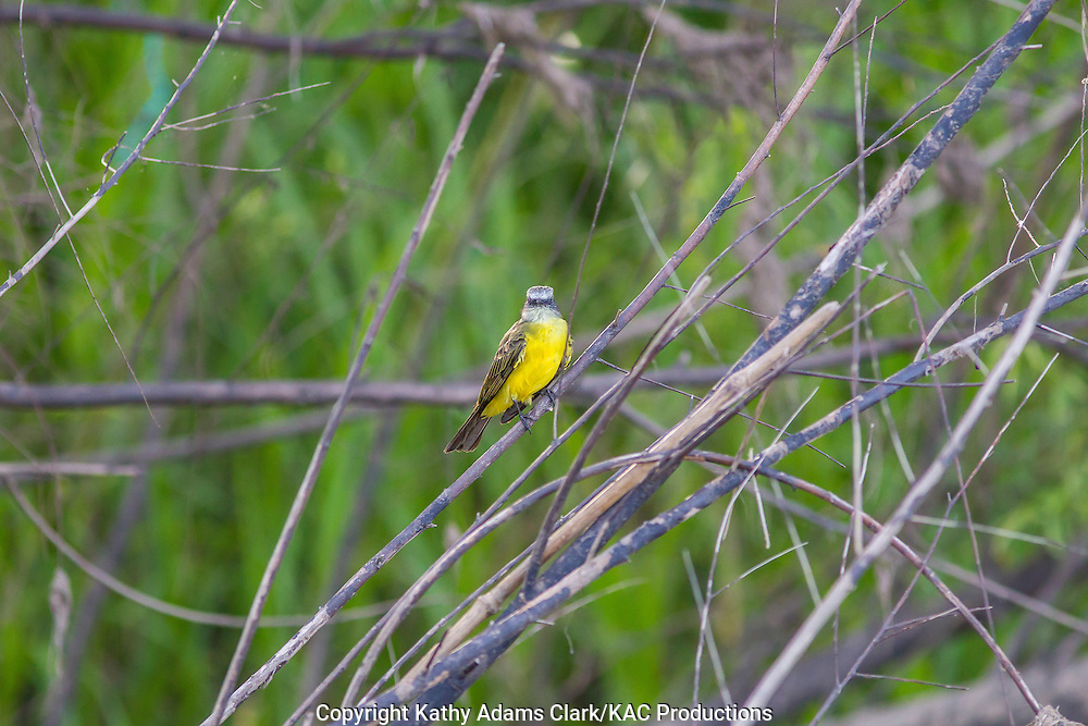 Gray-capped flycatcher, Myiozetetes granadensis, perched, Inkaterra Amazonia; Lake Sandoval; Madre de Dios River; perched; Peru; Reserva Ecologica Inkaterra; Tambopata National Reserve