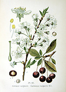 Sour Cherry (Cerasus vulgaris or Prunus cerasus): Sprigs shown flowers and fruit, details of  individual flower and fruit.  From Amedee Masclef 'Atlas des Plantes de France', Paris, 1893.