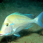 Littlehead Porgy hover just above reefs and adjacent sand areas in Florida; picture taken Panama City, FL