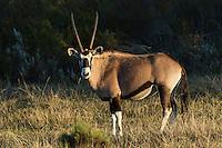 Gemsbok at dusk, Gondwana Game Reserve, Western Province, South Africa