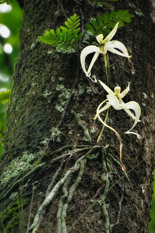 A rare sight! A pair of ghost orchids from a single plant! Ghost Orchid (Dendrophylax lindenii)