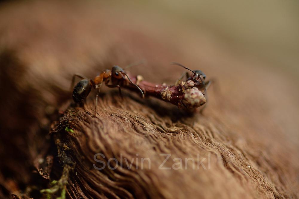 Wood ants (Formica ps.) on Rumskulla oak in Sweden   Waldameisen (Formica ps.) auf der Rumskulla Eiche. Schweden