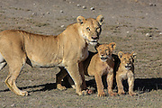 Lioness with young cubs in Tanzania, Africa.