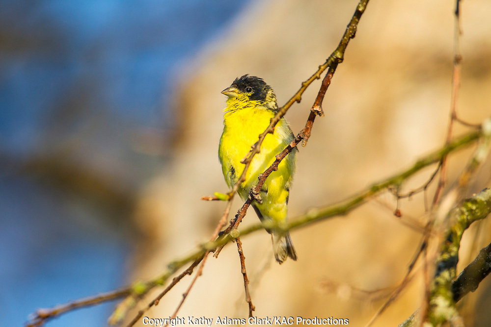 Lesser Goldfinch (Carduelis psaltria) perched on a vine in the Texas Hill Country near Fredericksburg and Comfort, Texas.