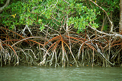 FL: Florida Everglades National Park,.Red mangrove trees.Photo Copyright: Lee Foster, lee@fostertravel.com, www.fostertravel.com, (510) 549-2202.Image: flever208