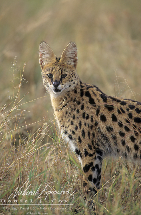 Serval (Felis serval) portrait in the Masai Mara National Reserve, Kenya, Africa.