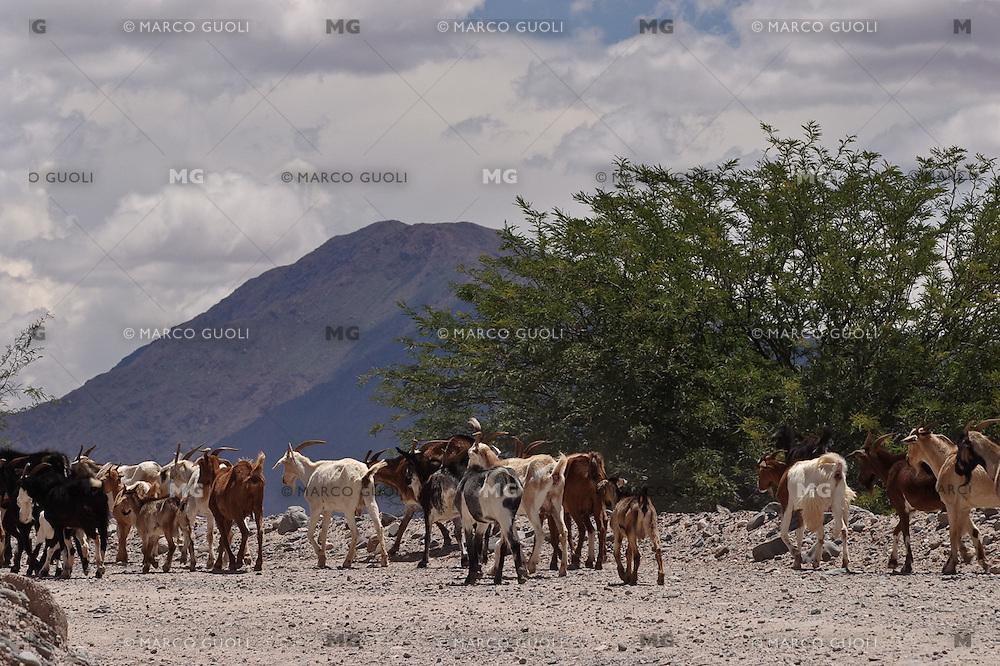 CABRAS EN LA RUTA 40, VALLES CALCHAQUIES, PROV. DE SALTA, ARGENTINA