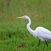 Great Egret hunting.