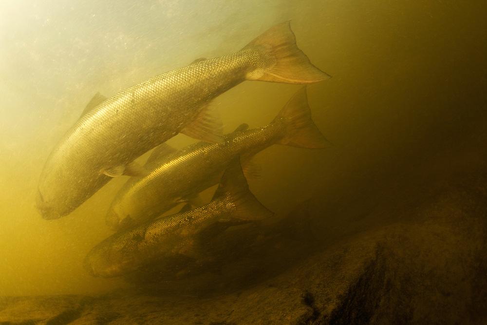 Atlantic salmon (Salmo salar)<br /> Spawning migration upstreams, Ume&auml;lven, Sweden<br /> Atlantischer Lachs (Salmo salar)<br /> Laichwanderung, Ume&auml;lven, Schweden<br /> Saumon atlantique (Salmo salar)<br /> Migration dans la rivi&egrave;re Ume&auml;lven, Su&egrave;de<br /> 17-07-2009