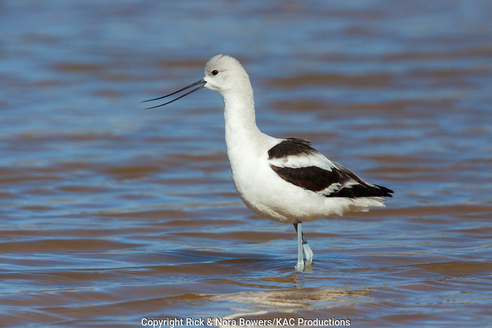 American Avocet <br /> Recurvirostra americana<br /> Gilbert Water Ranch, Gilbert, Maricopa County, Arizona, United States<br /> 15 January       Adult Male in winter plumage.       Scolopacidae