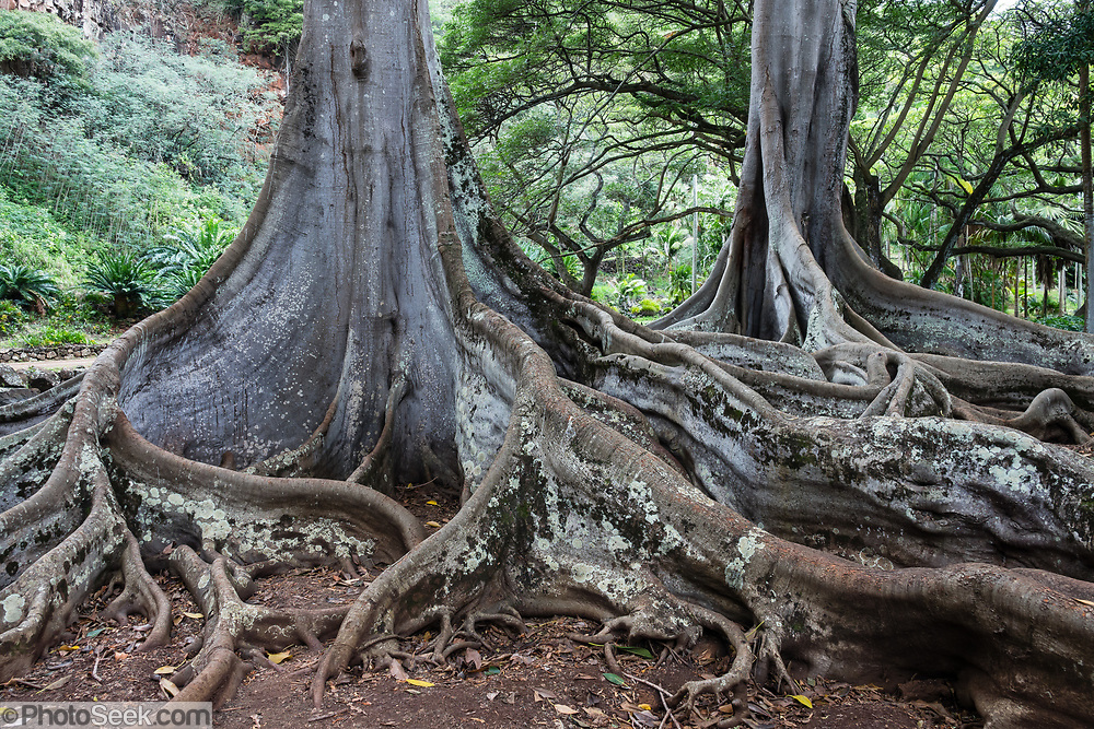 "On the island of Kauai, these Moreton Bay Fig trees in Allerton Garden were filmed in the movie ""Jurassic Park"" (1993) in a scene where a nest of hatched eggs is discovered by Dr. Grant, who says: ""Oh God. Know what this is? It's a dinosaur egg. The dinosaurs are breeding... Life found a way."" Address: 4425 Lawai Rd, Koloa, HI 96756. Nestled in a valley transected by the Lawai Stream flowing into in Lawai Bay, Allerton Garden is one of five gardens of the non-profit National Tropical Botanical Garden (ntbg.org, in Hawaii and Florida, USA)."