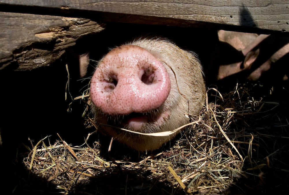 A curious pig pokes its snout between boards of a portable house at Luna Bleu Farm in South Royalton, Vt., on February 29, 2006. The pig is the friendliest animal on the farm by far. (Photo by Geoff Hansen)