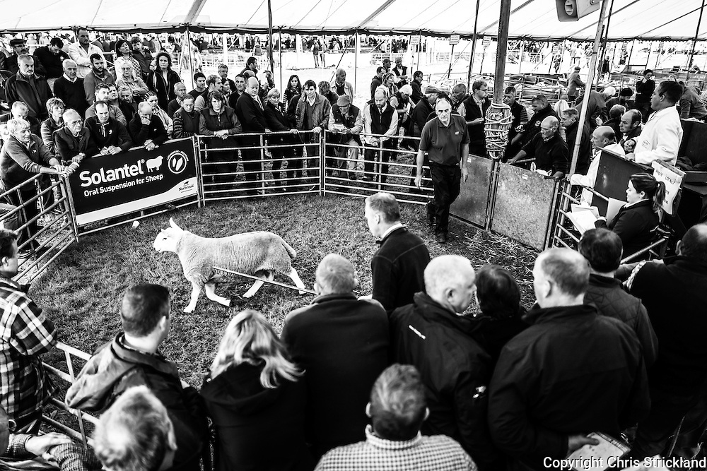 Border Union Show Ground, Kelso, Scottish Borders, UK. 9th September 2016. The sale in the Scottish Borders town is the largest single day sale of Tups in the world and it's not unusal for tups to fetch several thousand pounds.