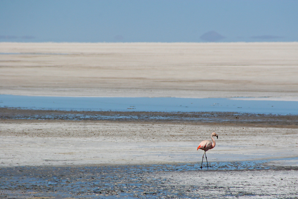 A lone flamingo walks along the Salar de Uyuni. The world's largest salt flat, the Salar de Uyuni sits at 3,600 meters above sea level and has a total surface area of 10,582 square kilometers.