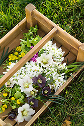 Trug of picked winter flowers including hellebores, snowdrops, winter aconites and cyclamen