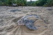 Female Leatherback Sea Turtles, Dermochelys coriacea, nest side by side  at sunrise on Grand Riviere, Trinidad, and return to the Caribbean Sea. During peak nesting season in late May / early June, this beach will receive roughly 300 nesting Leatherback every night, making it one of the busiest and most important nesting locations in the world for the critically endangered species.