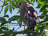 Hawk, Red-Shouldered / Buteo lineatus