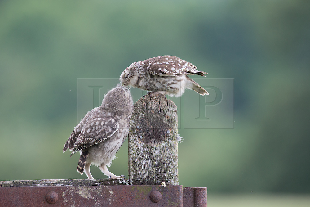 © Under license to London News Pictures. 27/06/203. Droitwich Spa, UK. A Little Owl feeding one of it's chicks. A Great Spotted Woodpecker holding food. A little owl and a Great Spotted Woodpecker come face to face as they clash over food while feeding their young in a nature reserve in Droitwich Spa, Worcestershire. The rare and beautiful images were captured by wildlife photographer Ian Schofield while out bird watching. Photo credit should read IAN SCHOFIELD/LNP
