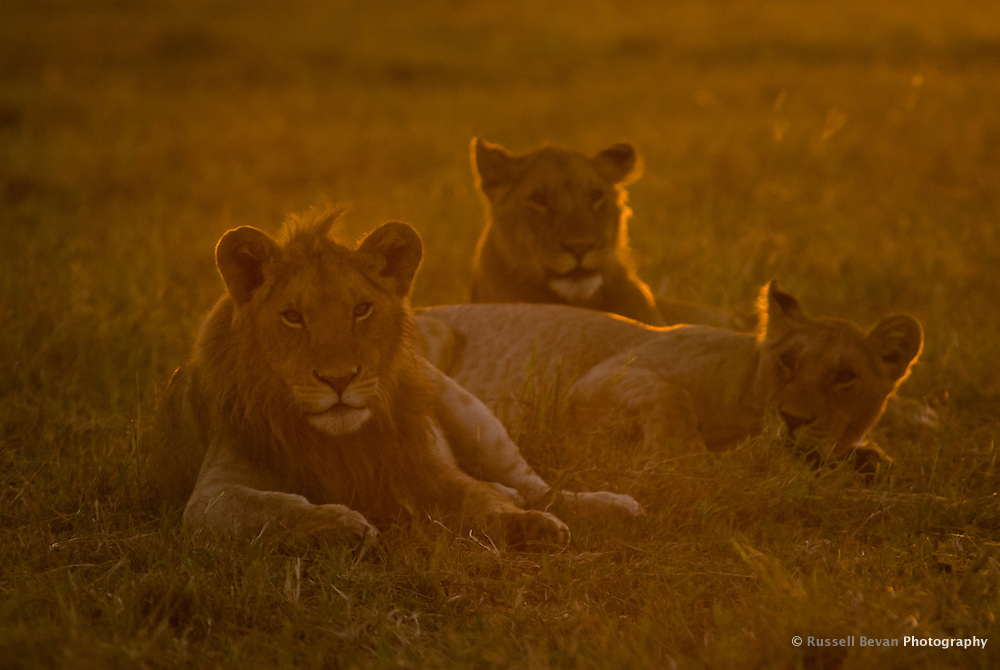 Three young lions at dawn in the Masai Mara National Park, Kenya