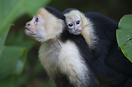 Adult and juvenile white-faced capuchin monkeys, Osa Peninsula, Costa Rica