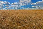 Mustard crop<br /> <br /> Saskatchewan<br /> Canada