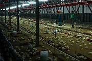 Battery chicken farm, near Bandar Seri Begawan, Brunei