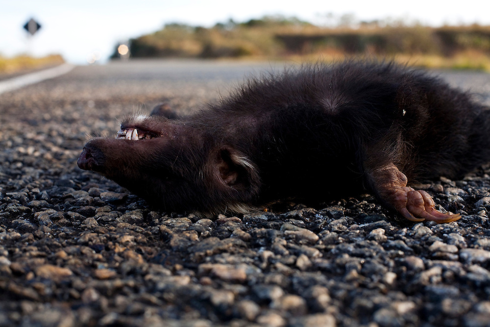 Madre Deus de Minas_MG, Brasil...Jaratataca morta na BR 383 em Madre Deus de Minas...The dead skunk on the BR 383 in Madre Deus de Minas...Foto: LEO DRUMOND / NITRO