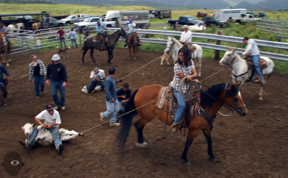 Cowgirl Michelle Galimba keeps a rope taught as she and many other work to brand over 100n calves at her family's Kuahiwi Ranch in the higher country above the town of Naalehu on the southern part of the Big Island, Hawaii.
