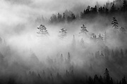 Pine trees in rising morning fog at Donner Summit north of Truckee, California.