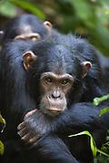 Chimpanzee <br /> Pan troglodytes<br /> Tropical forest, Western Uganda