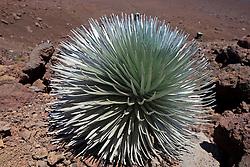 Haleakala Silversword (Argyroxiphium sandwicense subsp. macrocephalum), Haleakala National Park, Maui, Hawaii, United States of America