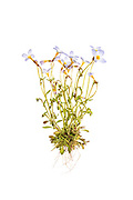 Bluets (Houstonia caerulea) - whole plant on a white background