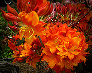This spectacular rhododendron was growing in a neighbor's garden where it is a visual magnet.