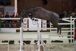 091, Cavalino Von Rotheck<br /> Hengstenkeuring BWP - Lier 2018<br /> © Hippo Foto - Dirk Caremans<br /> 20/01/2018