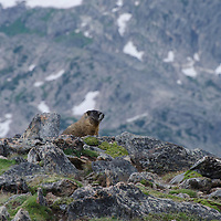 A Yellow-Bellied Marmot in Rocky Mountain National Park.