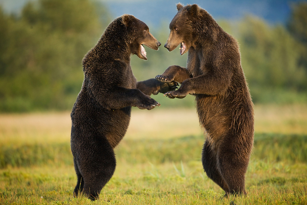 USA, Alaska, Katmai National Park, Kukak Bay, Brown Bears (Ursus arctos) sparring in meadow at sunrise on late summer morning