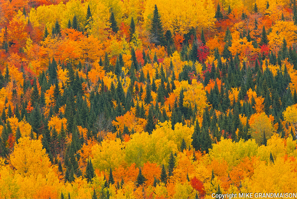 Acadian forest in autumn foliage. <br />