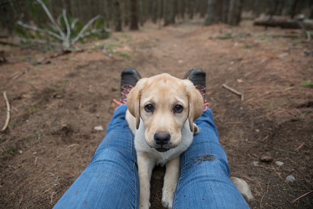 Cute lab puppy sitting on photographer's legs looking at the acmera