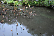 withered water lilies after flowering season is over