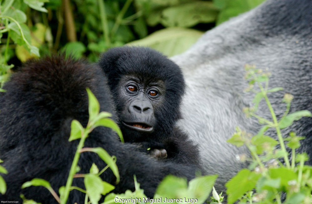 Virunga National Park, Democratic Republic of Congo: Baby Kanyarunga of the Humba family of mountain gorillas. Seven gorillas have been killed inside the park so far this year, including the mothers of two babies who have been orphaned. (PHOTO: MIGUEL JUAREZ LUGO).