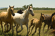 Horse herd with mares and foals, Crow Indian Reservation, Montana