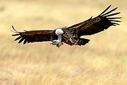 Rüppell's griffon vulture (Gyps rueppelli) at inflight in Maasai Mara, Kenya.