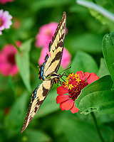 Tiger Swallowtail Butterfly. Image taken with a Nikon D810a camera and 105 mm f/2.8 VR macro lens