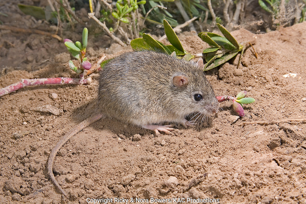Marsh Rice Rat .Oryzomys palustris.Brownsville, Cameron County, Texas, United States.6 April      Adult     Muridae