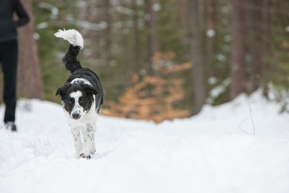 Young border collie puppy walking in the snow